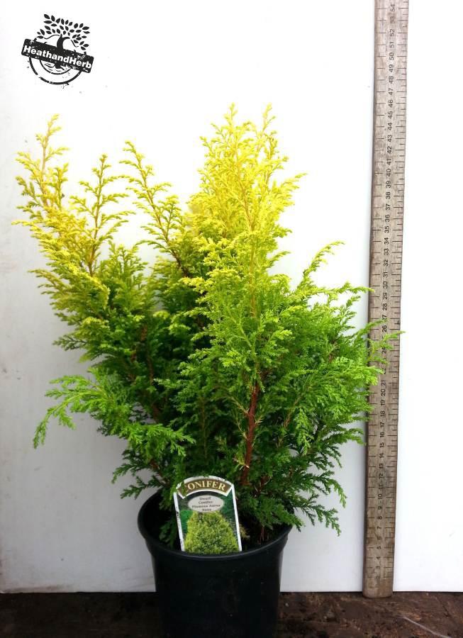 Chamaecyparis pisifera 'Plumosa Aurea Nana'