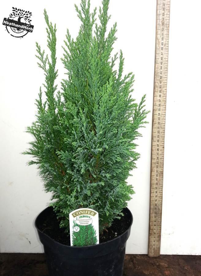 Ellwood's Cupressus - Chamaecyparis lawsoniana Ellwoodii