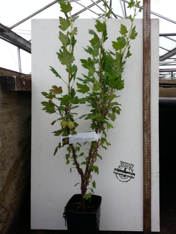 Gooseberry invicta green
