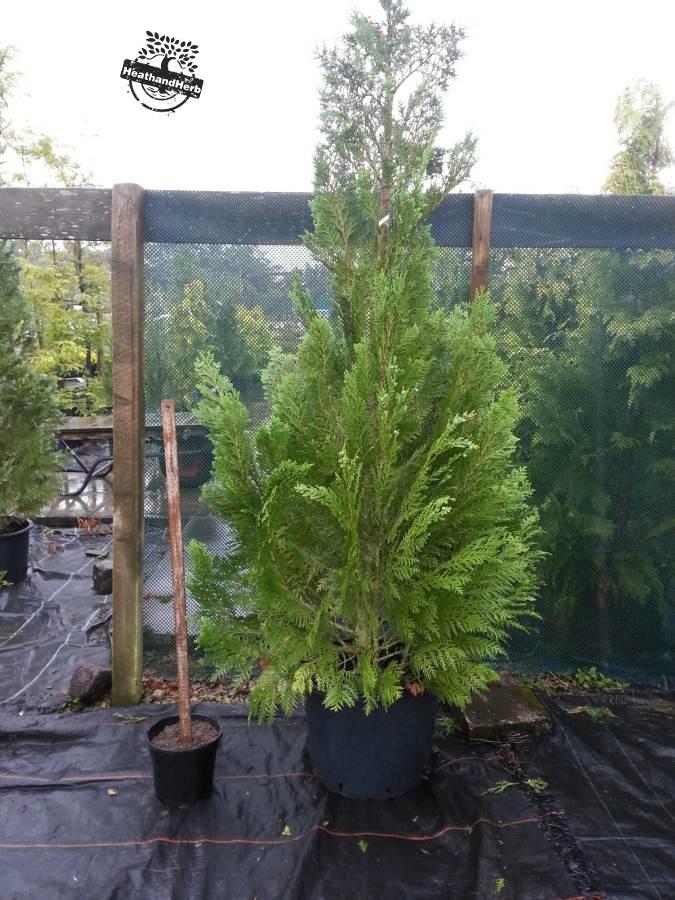 Lawson's cypress 'Columnaris'