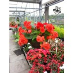 Red Begonia hanging baskets