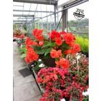 Red Begonia hanging baskets
