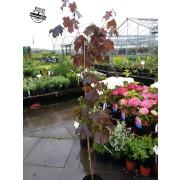 Norway Maple  - Acer Crimson King