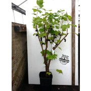 Blackcurrant Tree