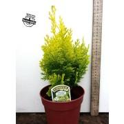 Chamaecyparis Lawsoniana - Minima Aurea
