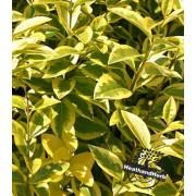 Golden Privet Hedge - Ligustrum Ovalifolium Aureum