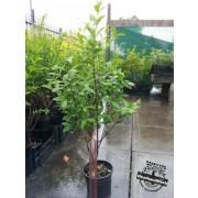 Green Privet - Ligustrum ovalifolium