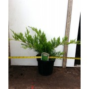 Juniperus pfitzeriana - Mint Julep