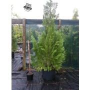 Lawson's cypress 'Columnaris'