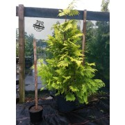 Lawson's cypress ' Ivonne Gold'