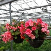 Pink Begonia hanging baskets