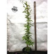 Variegated potato vine - Solanum jasminoides variegata