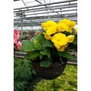 Yellow Begonia hanging baskets
